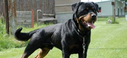 So You Want To Buy A Rottweiler....