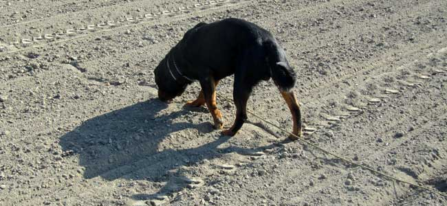 Rottweiler a stopy